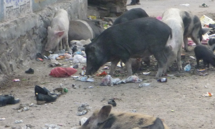 Pigs eating everything but the shoes.jpeg